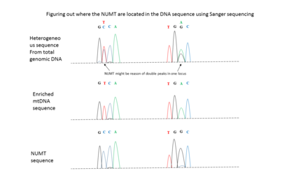 Use of Sanger sequencing to locate NUMT insertion in the nuclear genome