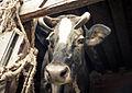 Vaca (8512783035).jpg