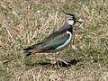 Vanellus vanellus EM1B8738 (34394252326) (2).jpg