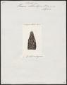 Varanus chlorostigma - kop - 1700-1880 - Print - Iconographia Zoologica - Special Collections University of Amsterdam - UBA01 IZ12400021.tif