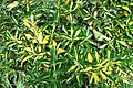 Variegated yellow and green plant.jpg