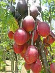 Vasconcellea goudotiona with red fruits.JPG