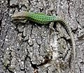 Vaucher's Wall Lizard - Podarcis vaucheri - Flickr - gailhampshire.jpg