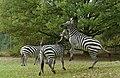 Vechtende zebras.jpg