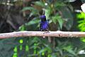 Velvet-purple Coronet 2.jpg