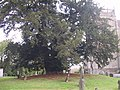 Very old tree in the grounds of St. Laurence Church in Alvechurch, Worcestershire. - geograph.org.uk - 584640.jpg