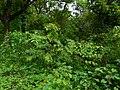 Vet-palai (Tamil- வெட்பாலை) (2639508344).jpg