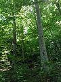 Veverica se krije na drvetu.jpg