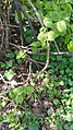 Viburnum lantana (Caprifoliaceae) 03.jpg