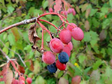 Viburnum lentago SCA-04779.jpg