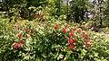 Viburnum sieboldii .jpg