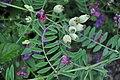Vicia benghalensis 1.jpg