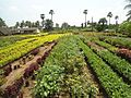 View of a nursery at Kadiyam.jpg
