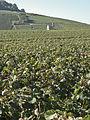 Vigne Pinot Noir(Cerseuil)Cl.J.Weber10 (23677743655).jpg