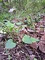 Viola riviniana sl3.jpg