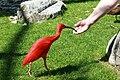 Vogelpark Walsrode - Freiflughalle - Eudocimus ruber 06 ies.jpg