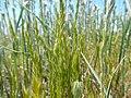 Vulpia octoflora (27592729175).jpg