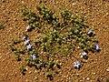 Wahlenbergia annularis.jpg