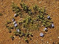 Wahlenbergia annularis
