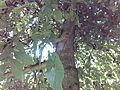 Walnut tree 003.jpg