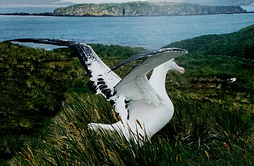 Wandering Albatross on South Georgia