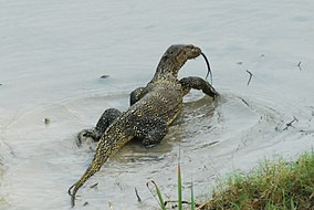 Water Monitor in Sundarban.jpg
