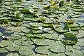 Waterlelies - panoramio - Rokus C.jpg