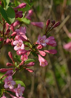 Rosa Weigelie (Weigela florida)