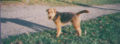 Welshterrier012.jpg