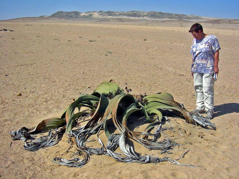 File:Welwitschia mirabilis(1).jpg