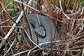 Western Cottonmouth (Agkistrodon piscivorous) - Flickr - GregTheBusker.jpg