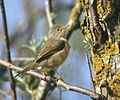 Western Subalpine Warbler Sylvia inornata, Aiguamolls de l'Empordà.jpg