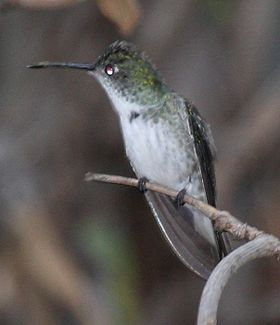 White-bellied Hummingbird (cropped).jpg