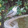 White-breasted nuthatch (31472398137).jpg