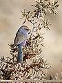 White-browed Tit Warbler (Leptopoecile sophiae) (45391670265).jpg