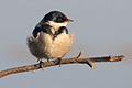 White-throated Swallow, Hirundo albigularis at Marievale Nature Reserve, Gauteng, South Africa (9703340468).jpg