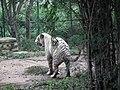 White Tiger from Bannerghatta National Park 8507.JPG