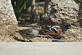 White crowned sparrow and spotted towhee (32400412457).jpg