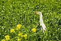 White egret in green land.jpg