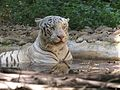 White tiger At banerghatta national park india.jpg