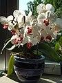 Whitephalaenopsisorchid.JPG