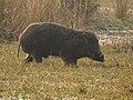 Wild Boar Sus scrofa by Dr. Raju Kasambe DSCN2803 (27).jpg