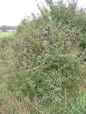 Privet - Wild privet, also sometimes known as Common privet or European privet (Ligustrum vulgare)