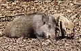 Wildfreigehege Wildenburg im Nationalpark Hunsrück-Hochwald - Wildschwein.jpg