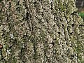 Willow Oak Quercus phellos Bark Detail.JPG