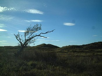 English: Wind blown coastal Alder tree in Forv...