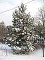 Winter day - panoramio (2).jpg