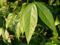 Wintersweet Chimonanthus praecox Leaves 3264px.jpg