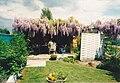 Wisteria sp garden2.jpg