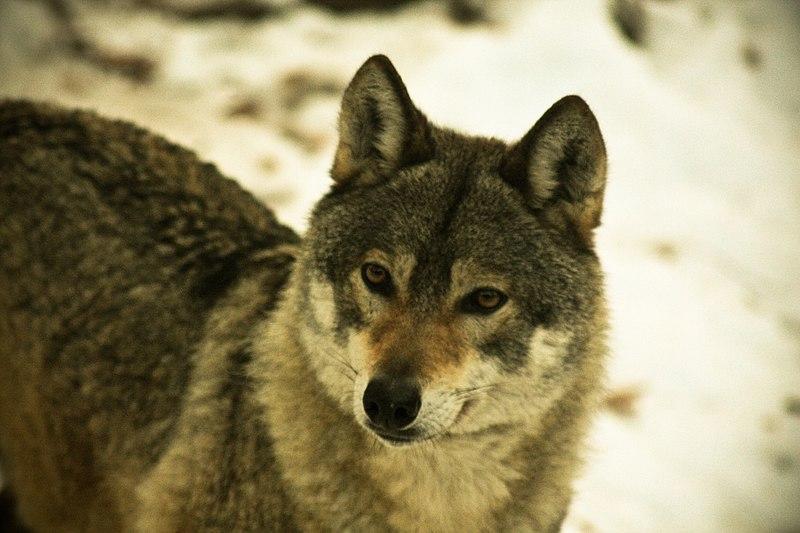 Wolf at Castello Belfort.jpg